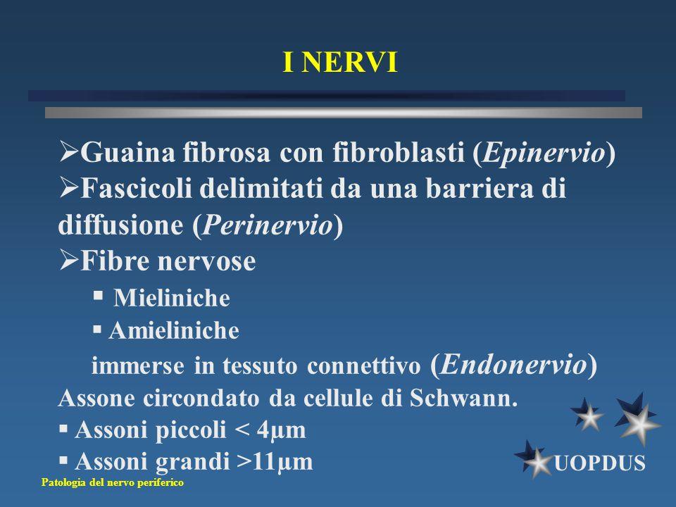 Guaina fibrosa con fibroblasti (Epinervio)