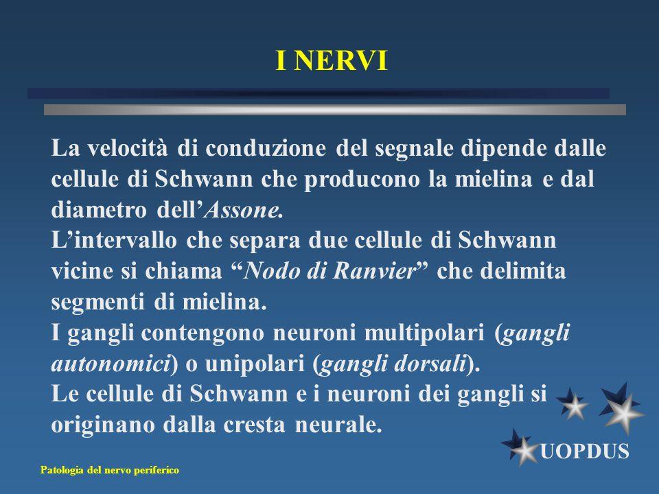 I NERVI La velocità di conduzione del segnale dipende dalle cellule di Schwann che producono la mielina e dal diametro dell'Assone.