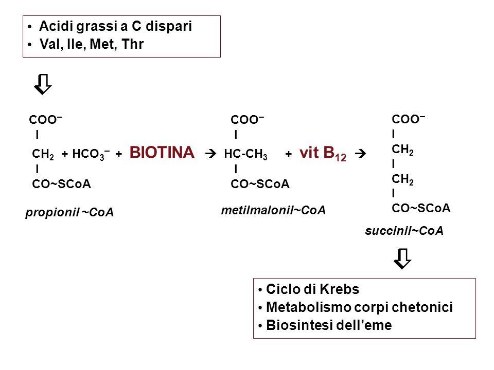  Acidi grassi a C dispari Val, Ile, Met, Thr Ciclo di Krebs