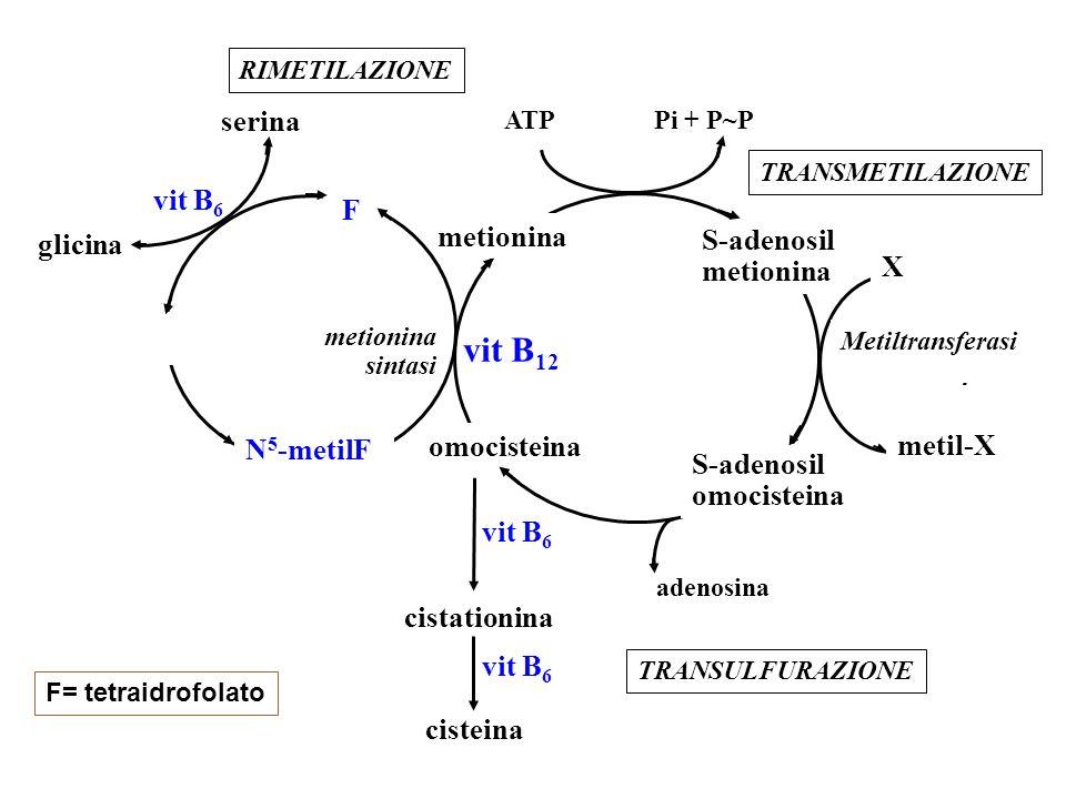vit B12 serina F metionina glicina S-adenosil X metil-X N5-metilF