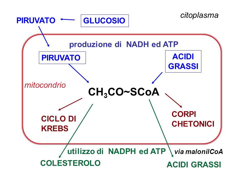 CH3CO~SCoA citoplasma GLUCOSIO produzione di NADH ed ATP ACIDI