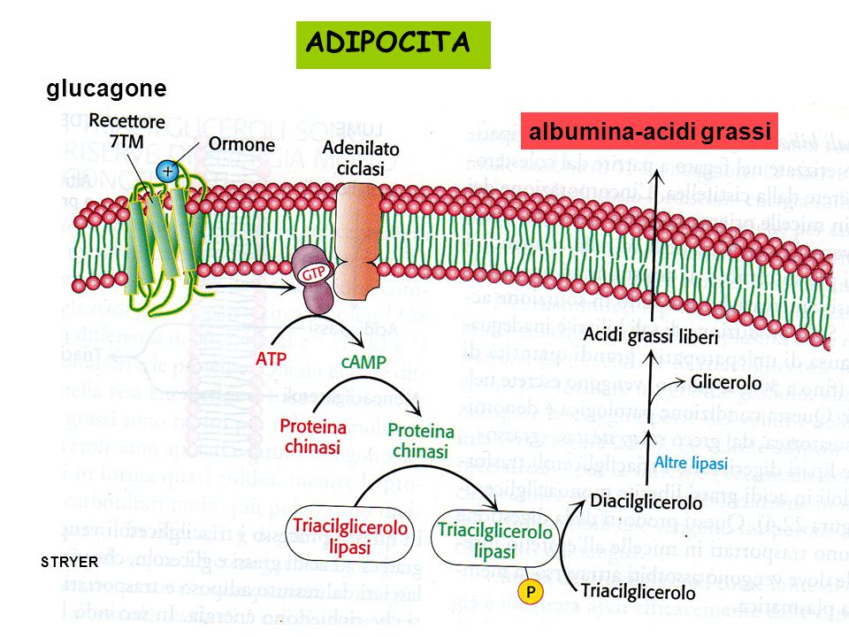 ADIPOCITA glucagone albumina-acidi grassi STRYER