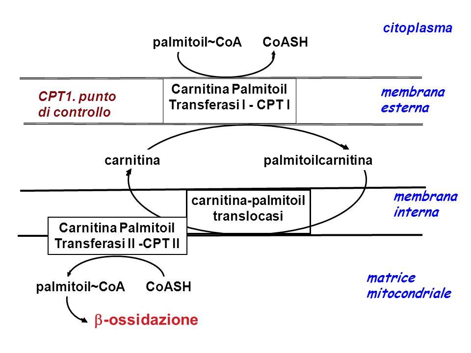 -ossidazione citoplasma Carnitina Palmitoil membrana