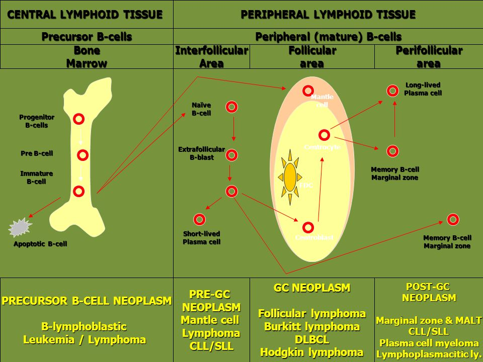 CENTRAL LYMPHOID TISSUE PERIPHERAL LYMPHOID TISSUE