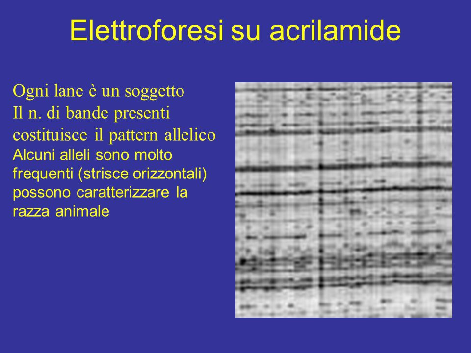 Elettroforesi su acrilamide