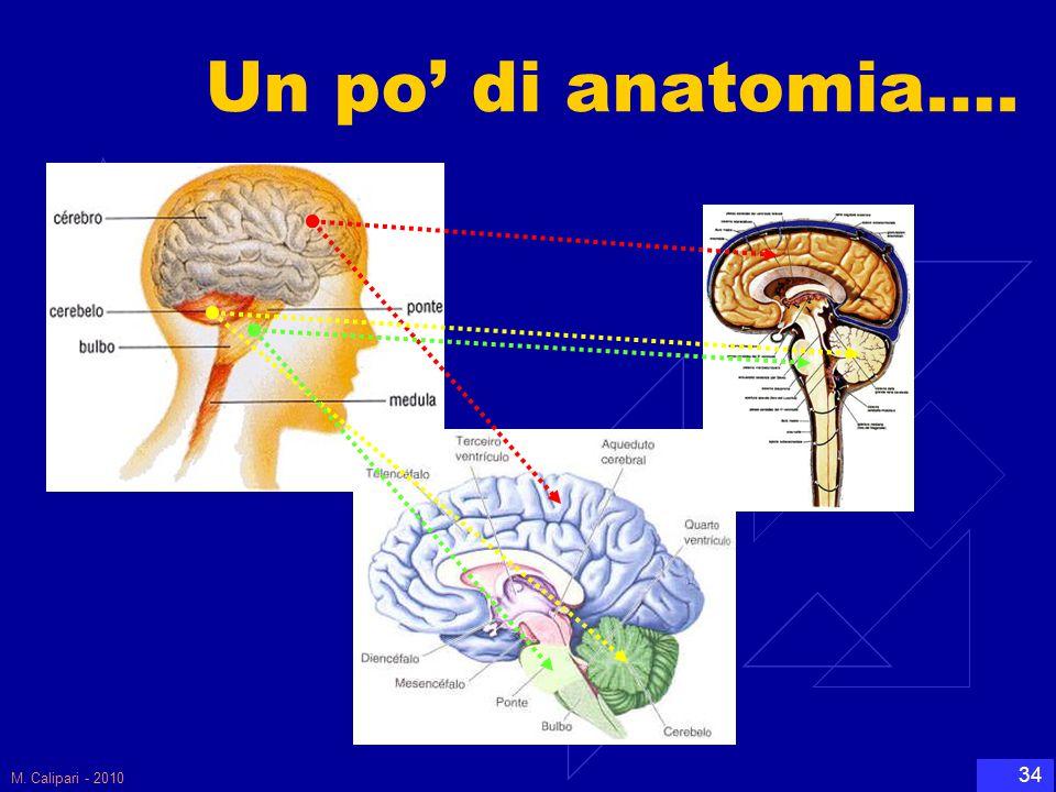 Un po' di anatomia…. M. Calipari - 2010