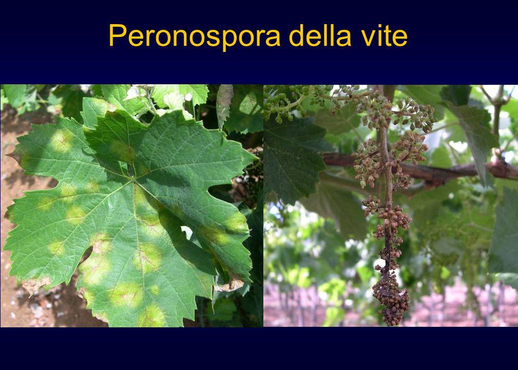 Peronospora della vite