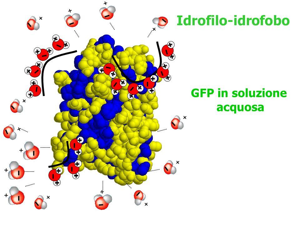 Idrofilo-idrofobo GFP in soluzione acquosa + + + + + + + + + + + + + +