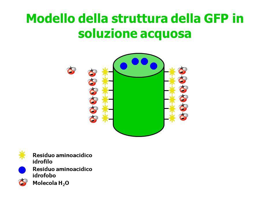 Modello della struttura della GFP in soluzione acquosa