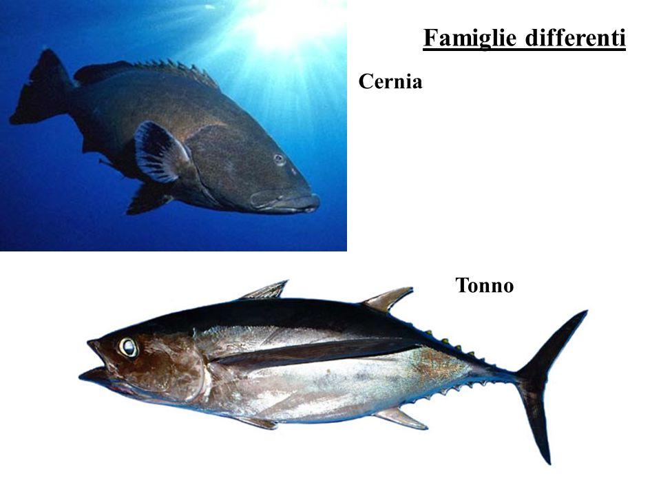 Famiglie differenti Cernia Tonno