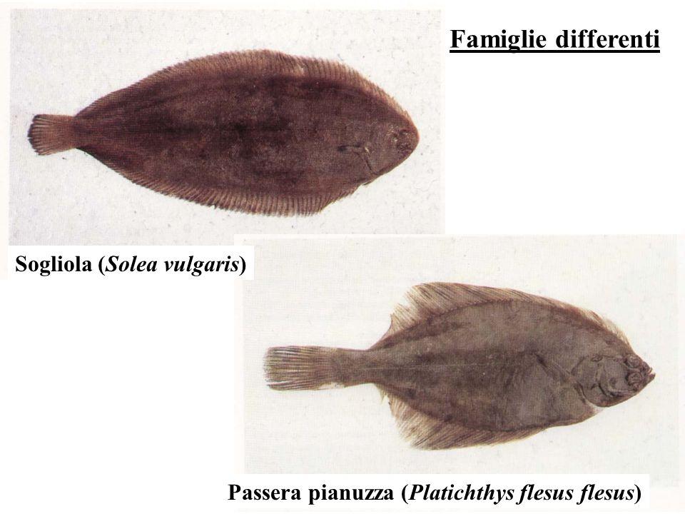 Sogliola (Solea vulgaris) Passera pianuzza (Platichthys flesus flesus)