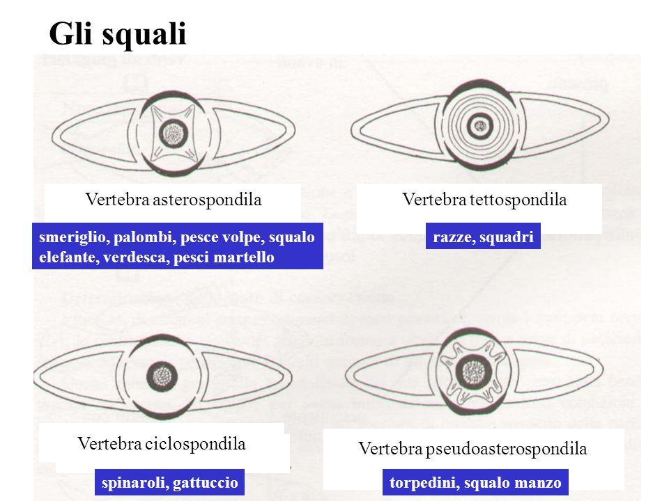 Vertebra ciclospondila