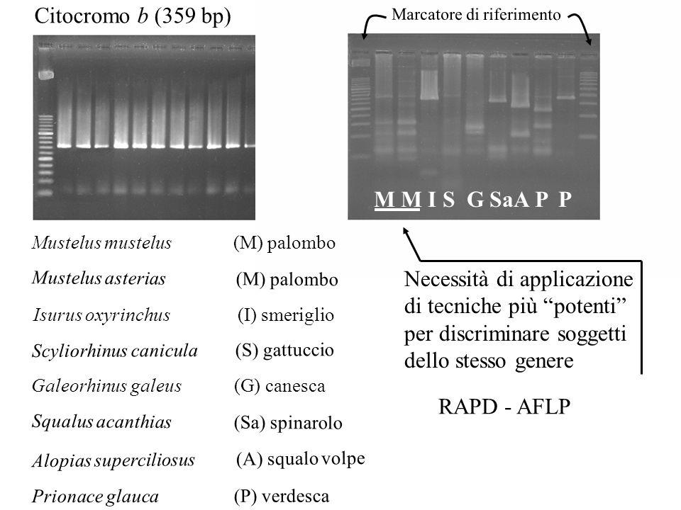Citocromo b (359 bp) M M I S G SaA P P