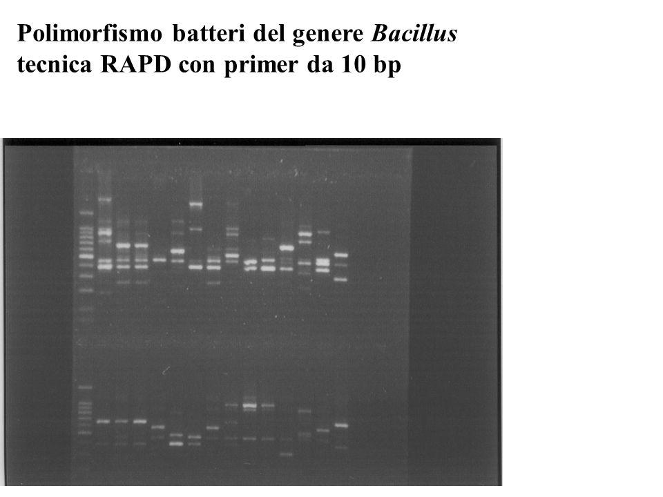 Polimorfismo batteri del genere Bacillus