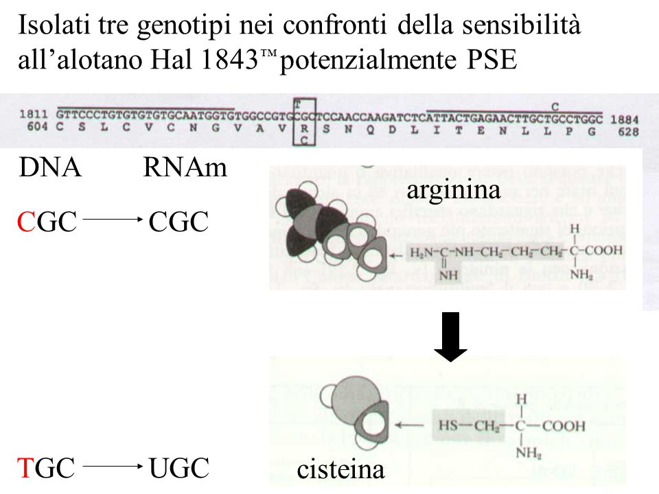 Isolati tre genotipi nei confronti della sensibilità all'alotano Hal 1843™ potenzialmente PSE