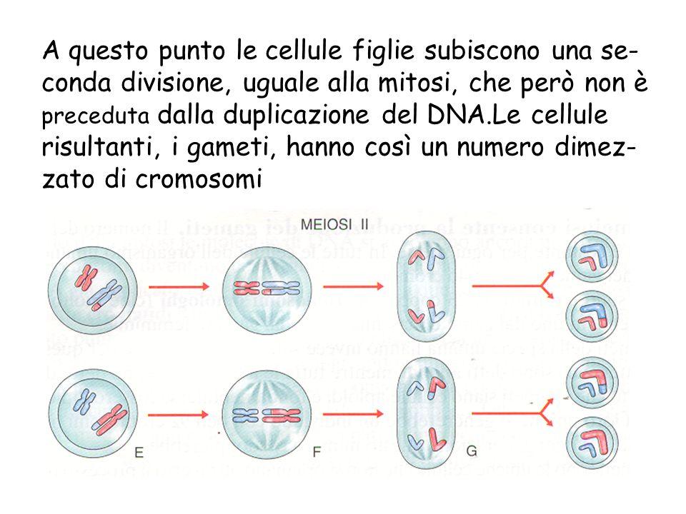 A questo punto le cellule figlie subiscono una se-conda divisione, uguale alla mitosi, che però non è preceduta dalla duplicazione del DNA.Le cellule risultanti, i gameti, hanno così un numero dimez-zato di cromosomi