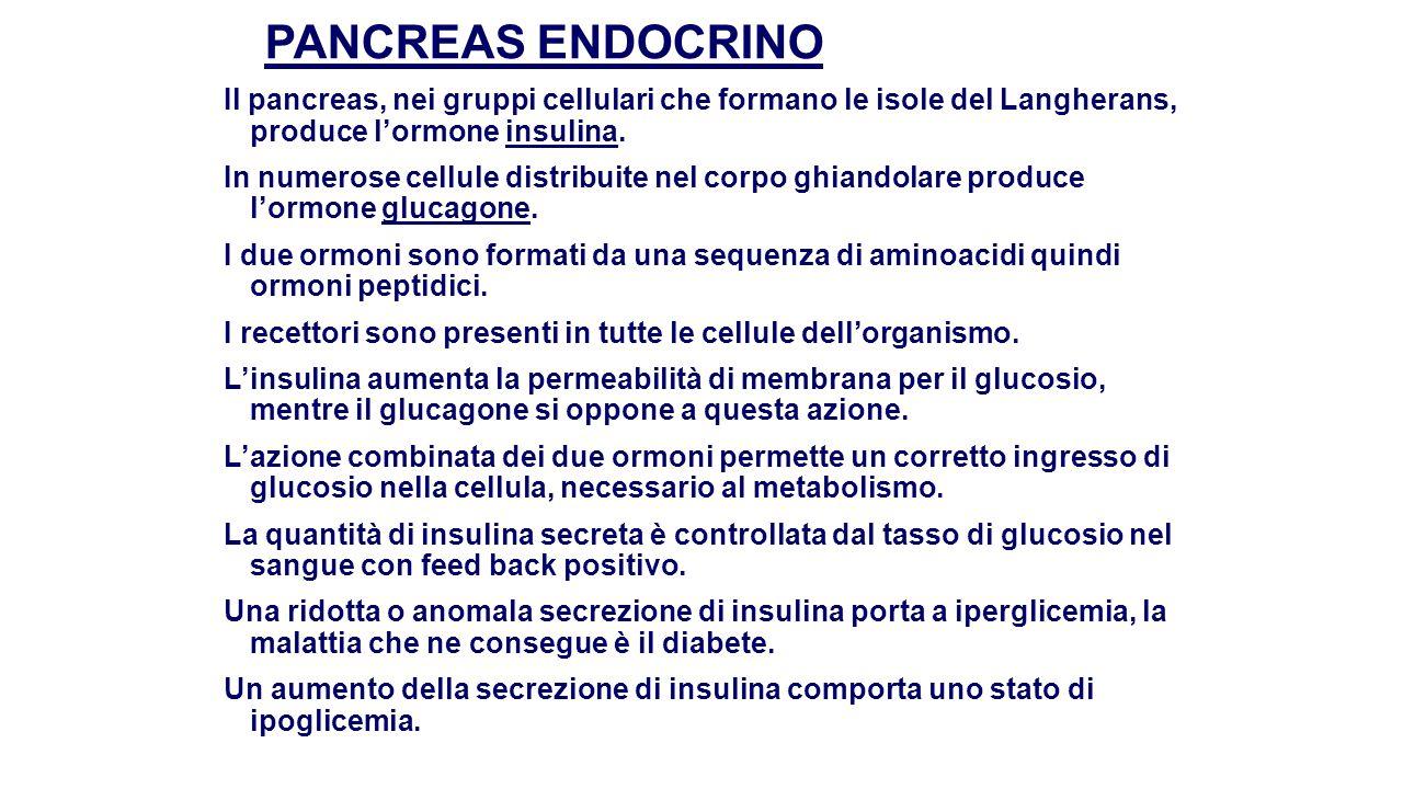PANCREAS ENDOCRINO Il pancreas, nei gruppi cellulari che formano le isole del Langherans, produce l'ormone insulina.