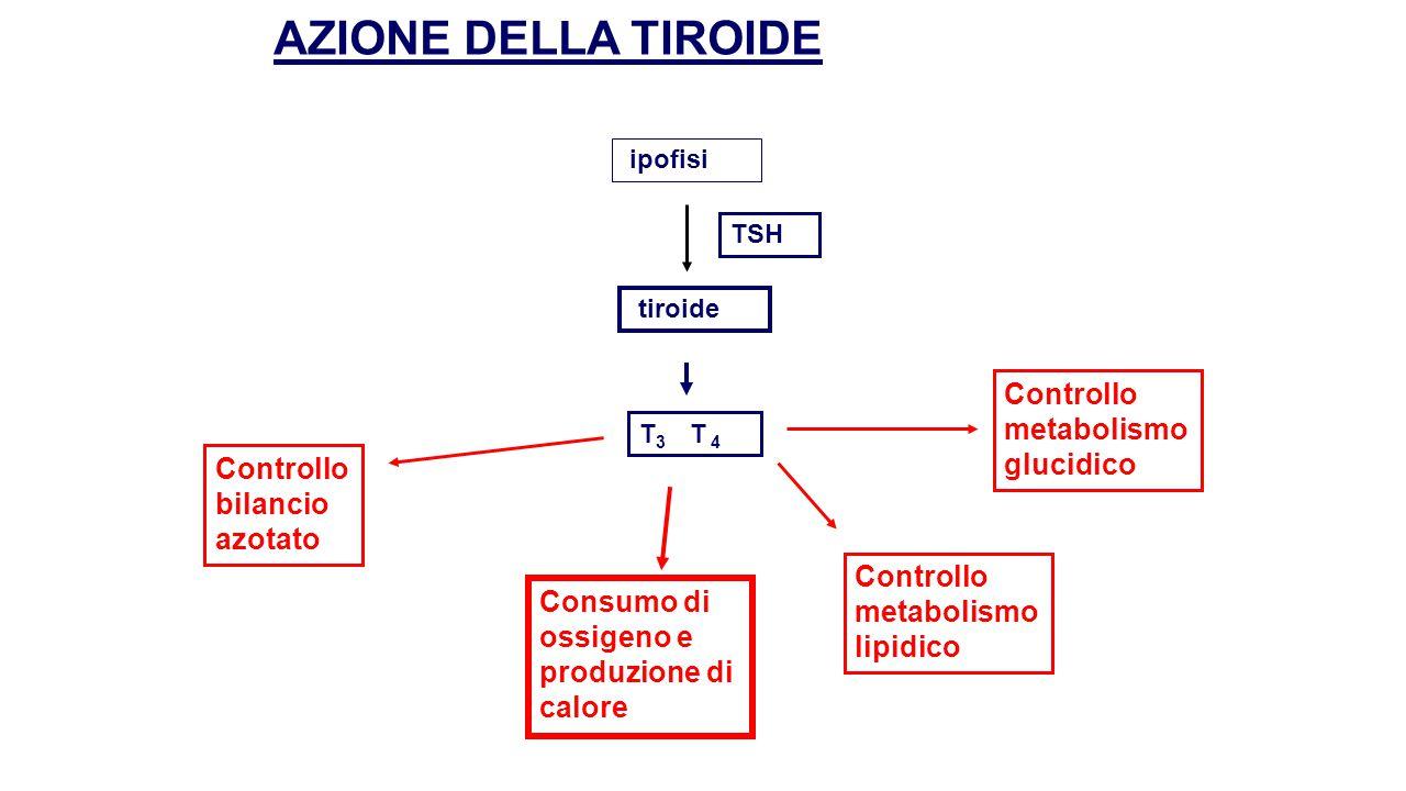 AZIONE DELLA TIROIDE Controllo metabolismo glucidico