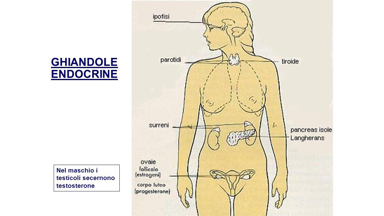 GHIANDOLE ENDOCRINE Nel maschio i testicoli secernono testosterone