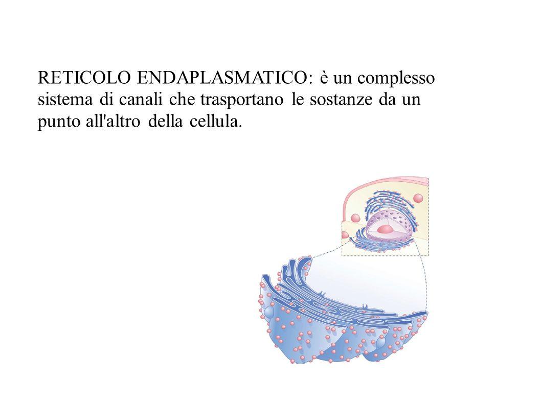 RETICOLO ENDAPLASMATICO: è un complesso sistema di canali che trasportano le sostanze da un punto all altro della cellula.