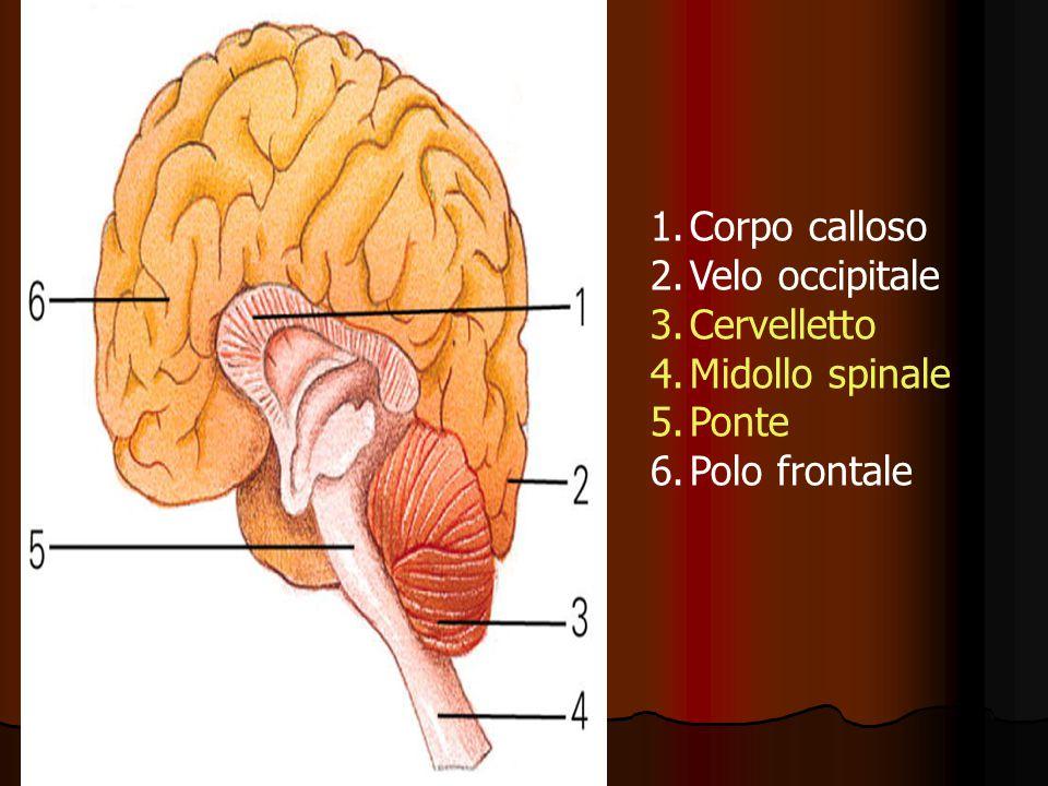 Corpo calloso Velo occipitale Cervelletto Midollo spinale Ponte Polo frontale