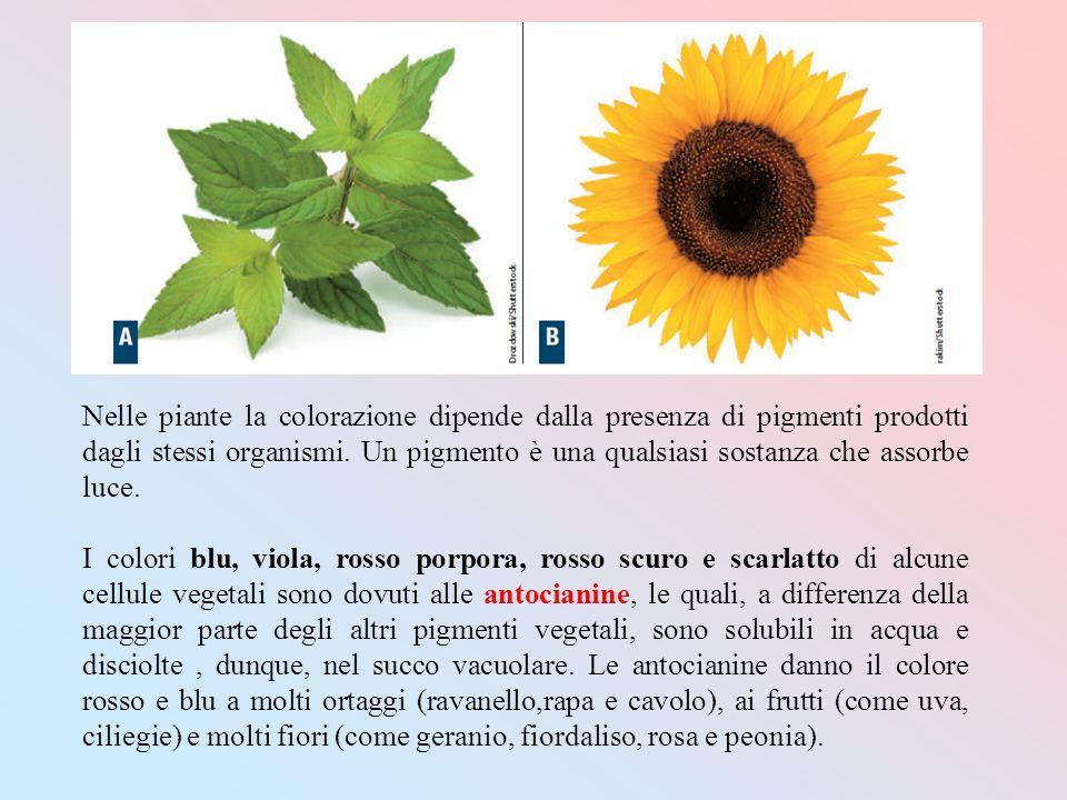 Nelle piante la colorazione dipende dalla presenza di pigmenti prodotti dagli stessi organismi. Un pigmento è una qualsiasi sostanza che assorbe luce.