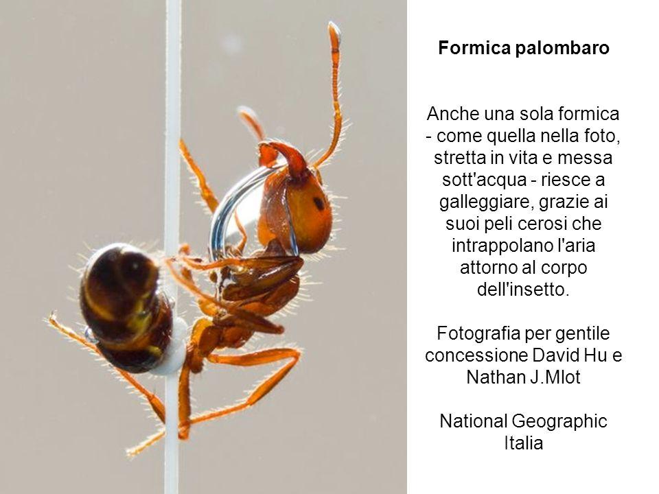 Formica palombaro Anche una sola formica - come quella nella foto, stretta in vita e messa sott acqua - riesce a galleggiare, grazie ai suoi peli cerosi che intrappolano l aria attorno al corpo dell insetto.