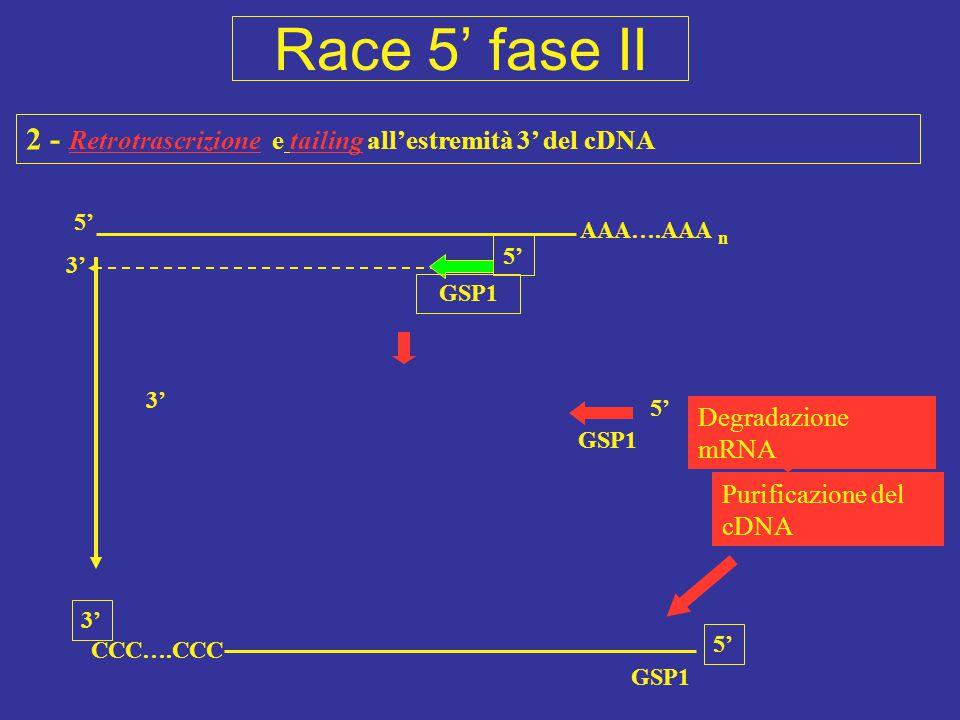 Race 5' fase II 2 - Retrotrascrizione e tailing all'estremità 3' del cDNA. 5' AAA….AAA. n. 5' 3'
