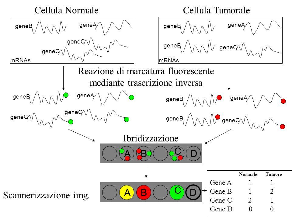 Reazione di marcatura fluorescente mediante trascrizione inversa