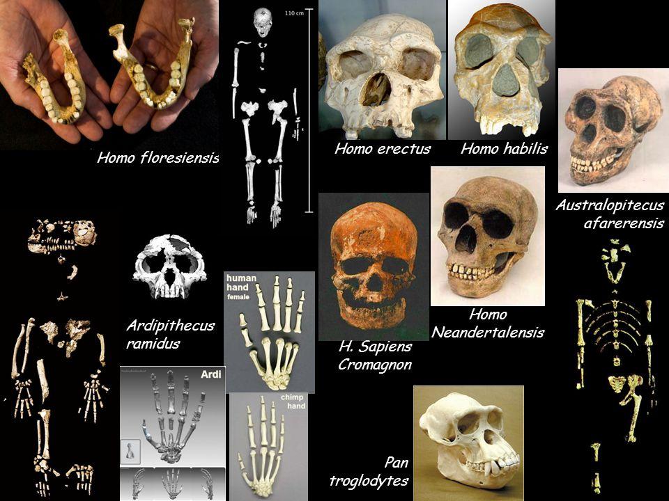 Homo erectus Homo habilis. Homo floresiensis. Australopitecus afarerensis. Homo. Neandertalensis.