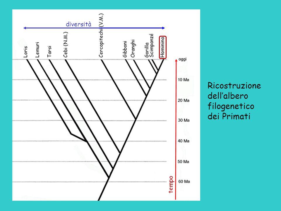 diversità Ricostruzione dell'albero filogenetico dei Primati tempo