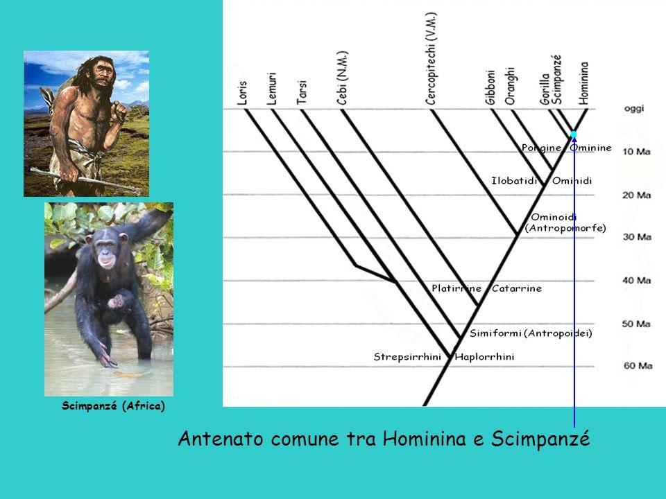 Antenato comune tra Hominina e Scimpanzé