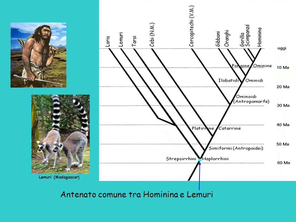 Antenato comune tra Hominina e Lemuri