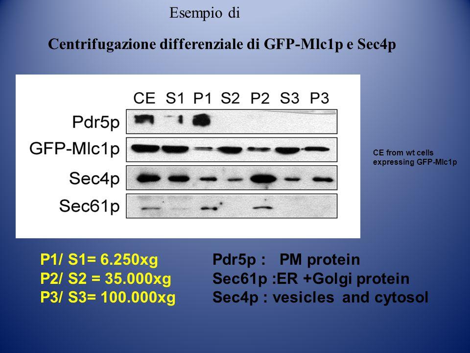 Centrifugazione differenziale di GFP-Mlc1p e Sec4p