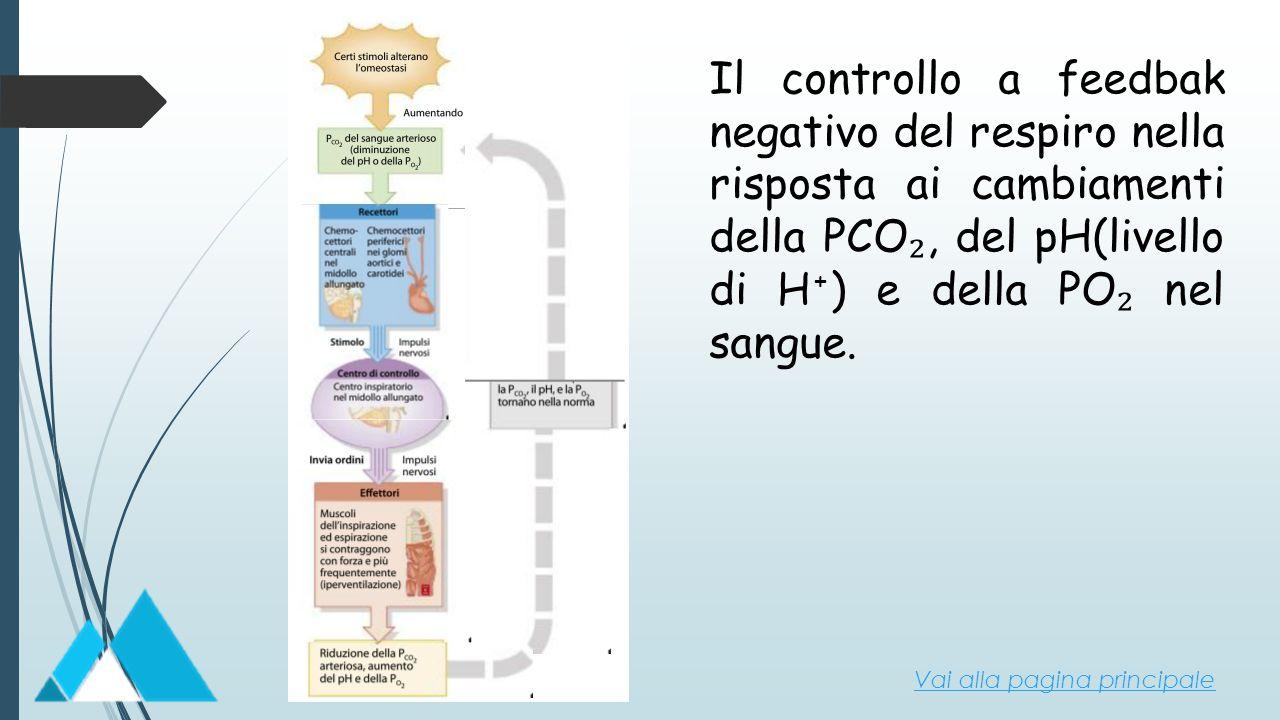 Il controllo a feedbak negativo del respiro nella risposta ai cambiamenti della PCO₂, del pH(livello di H+) e della PO₂ nel sangue.