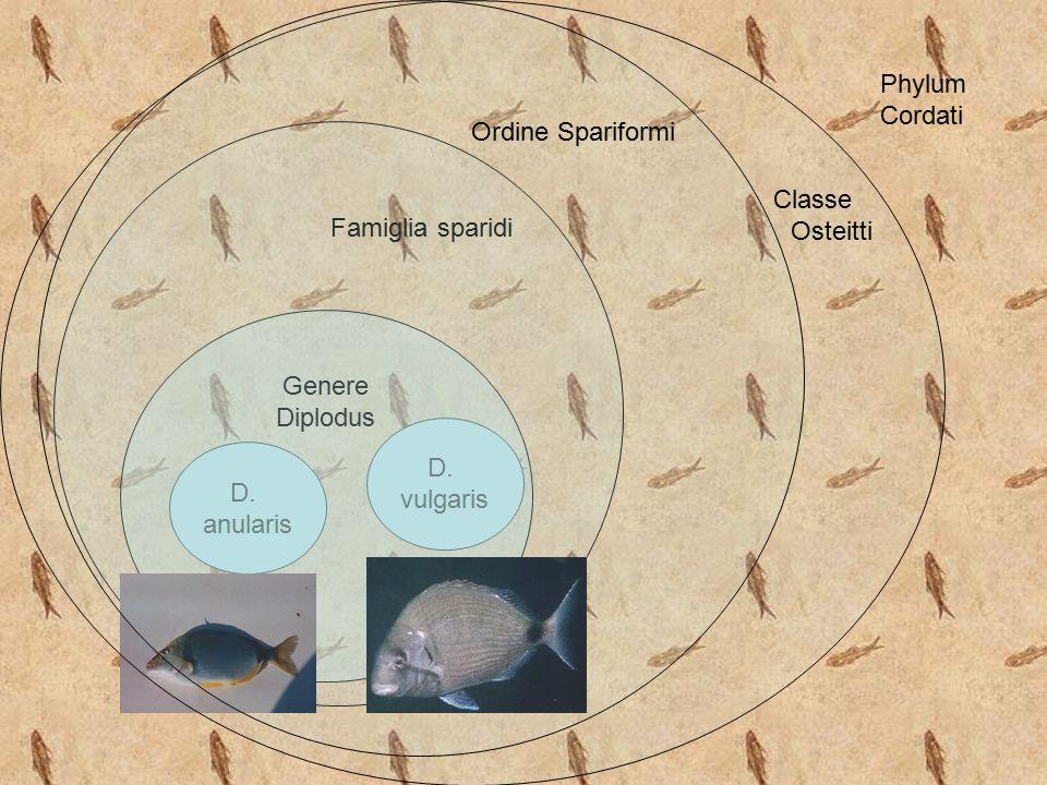 Classe Osteitti. Ordine Spariformi. Phylum Cordati. Famiglia sparidi. Genere. Diplodus. D. vulgaris.