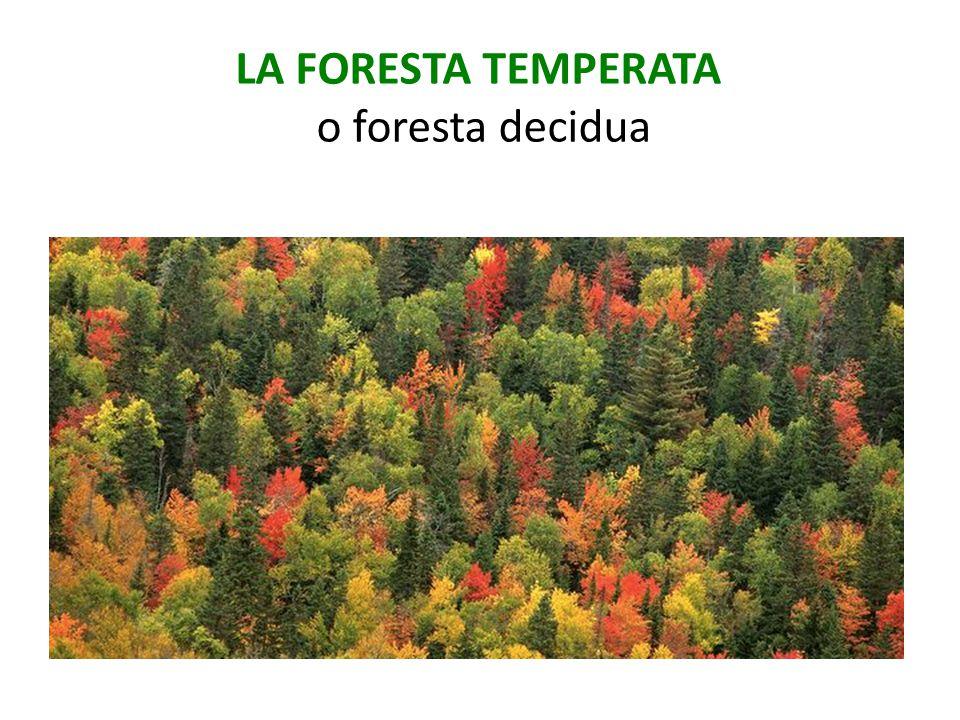 LA FORESTA TEMPERATA o foresta decidua