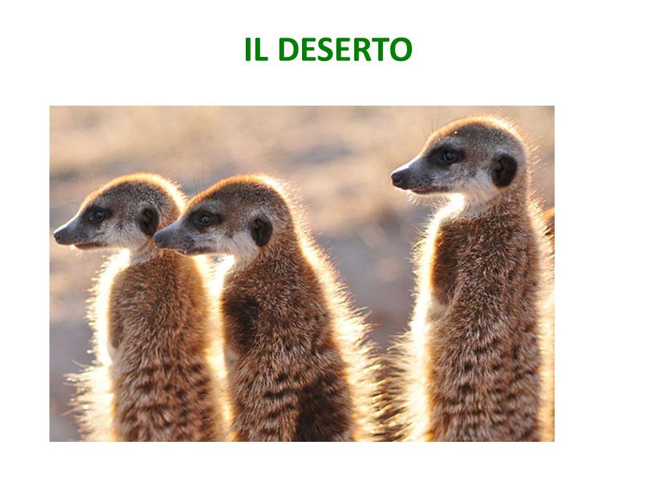 IL DESERTO Fennec