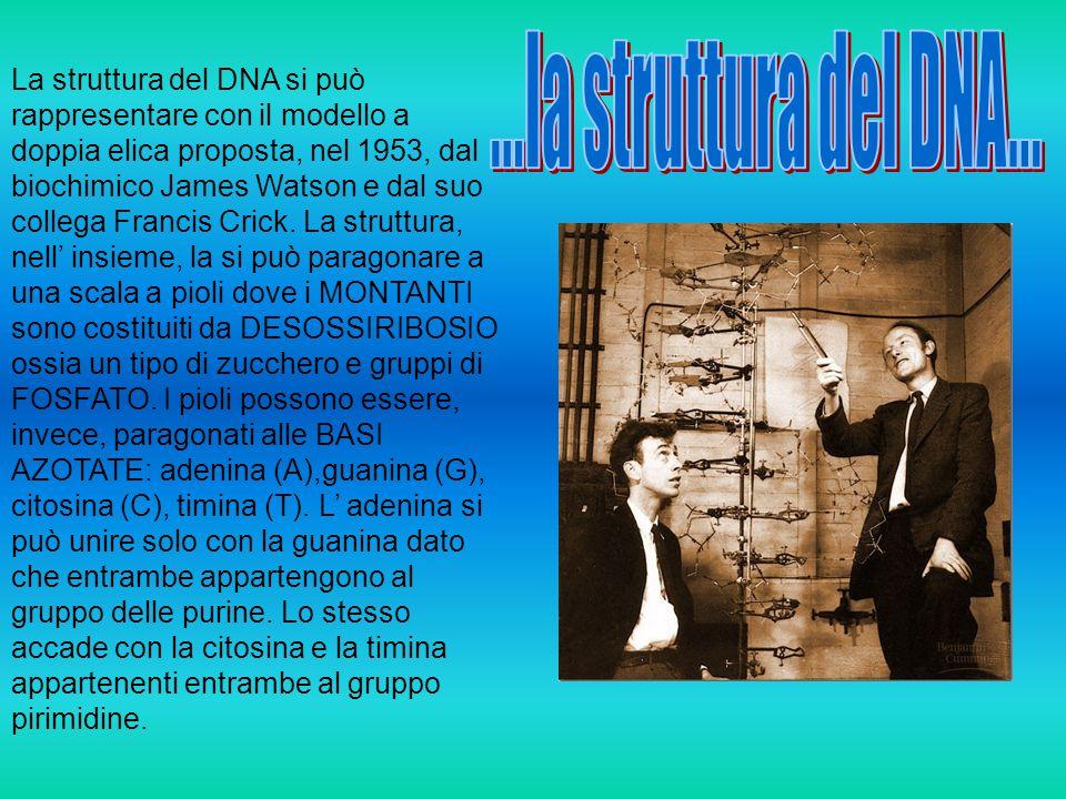 ...la struttura del DNA...