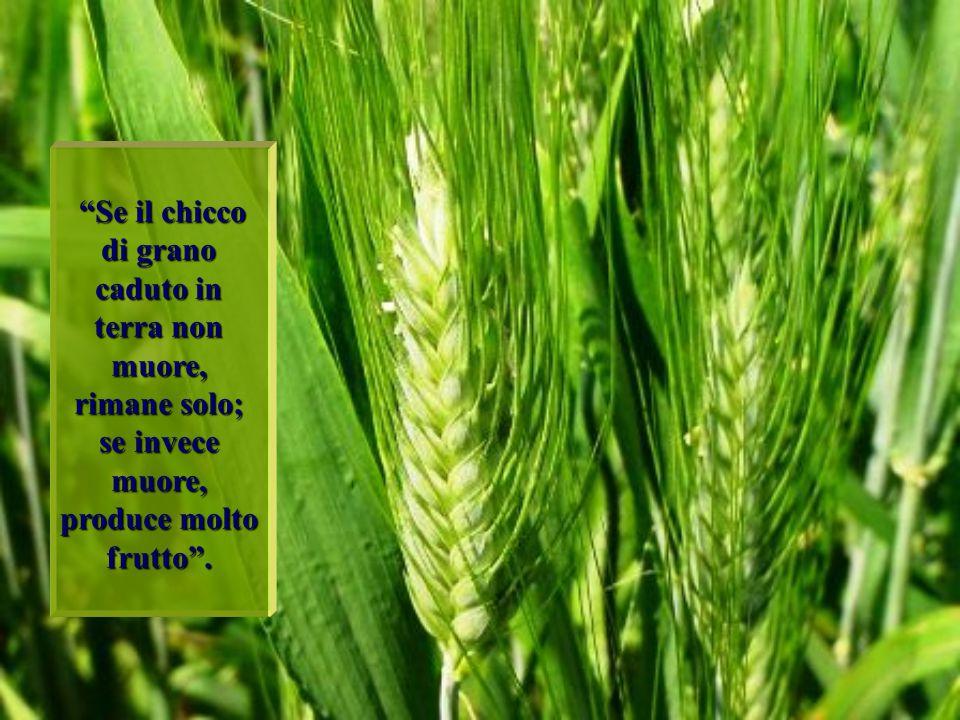 Se il chicco di grano caduto in terra non muore, rimane solo; se invece muore, produce molto frutto .