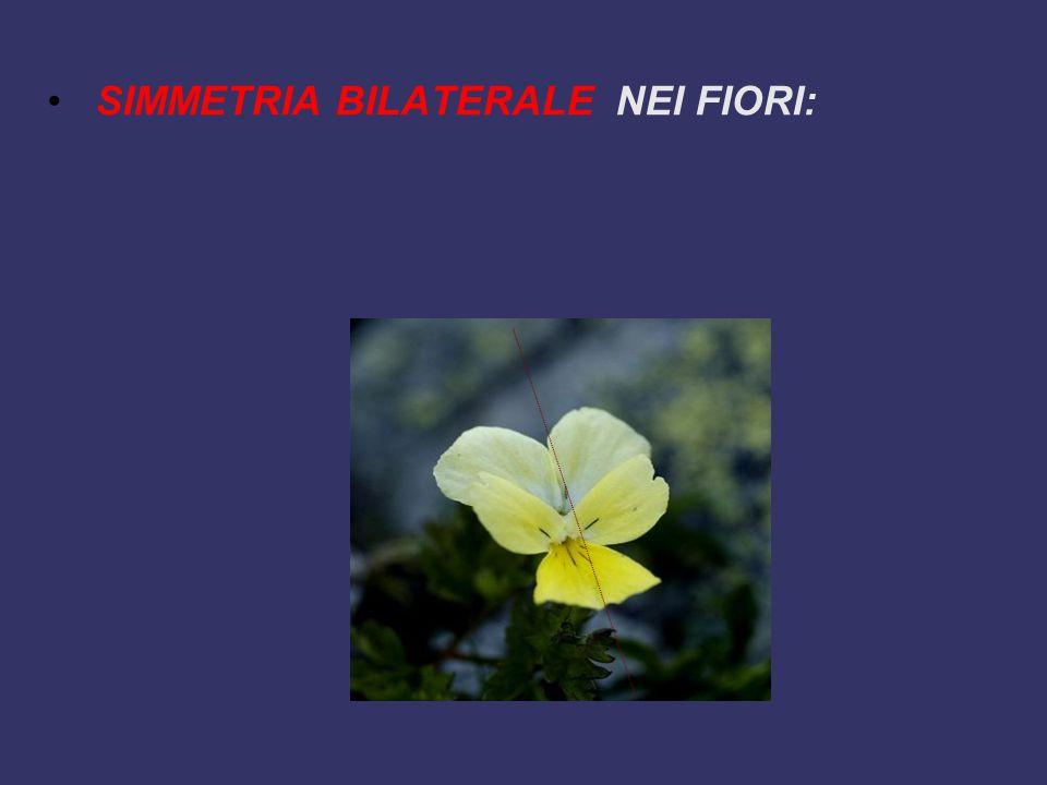 SIMMETRIA BILATERALE NEI FIORI: