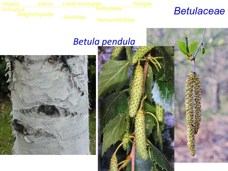 Betulaceae Betula pendula Magnoliopsida Apetalae Hamamelididae Classe