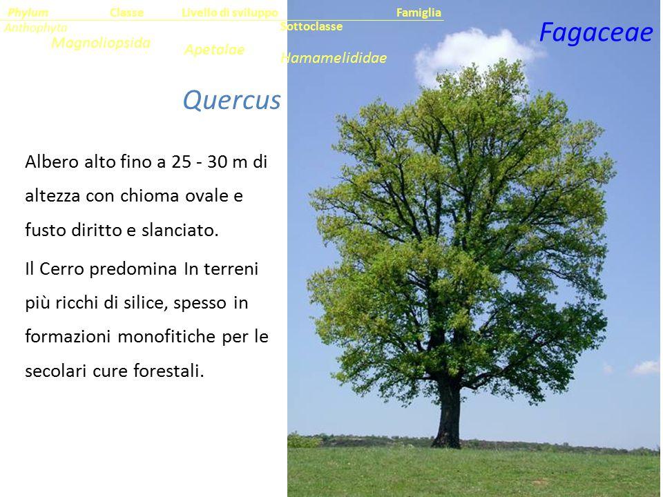 Fagaceae Quercus cerris L.