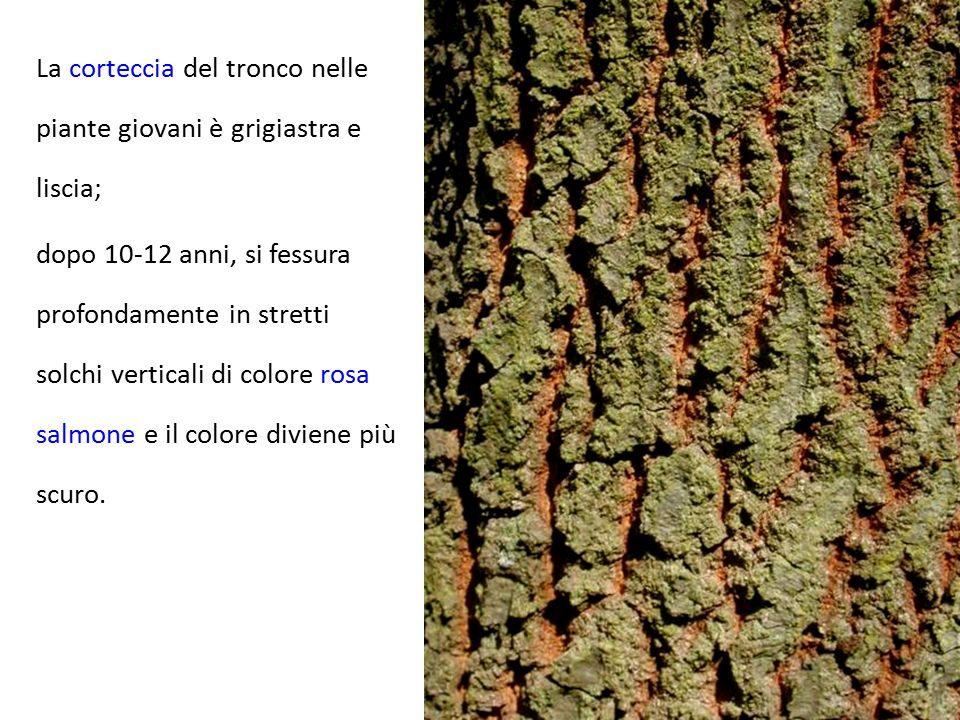 La corteccia del tronco nelle piante giovani è grigiastra e liscia;