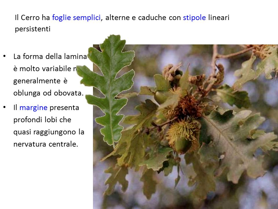 Il Cerro ha foglie semplici, alterne e caduche con stipole lineari persistenti