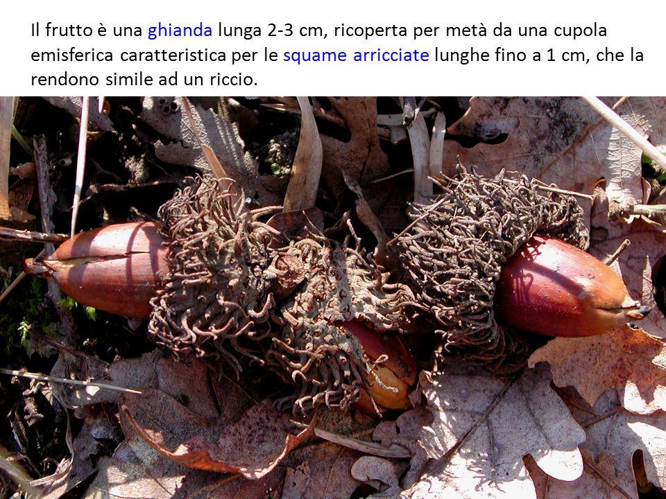 Il frutto è una ghianda lunga 2-3 cm, ricoperta per metà da una cupola emisferica caratteristica per le squame arricciate lunghe fino a 1 cm, che la rendono simile ad un riccio.