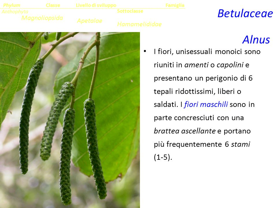 Classe Phylum. Famiglia. Livello di sviluppo. Anthophyta. Betulaceae. Sottoclasse. Magnoliopsida.