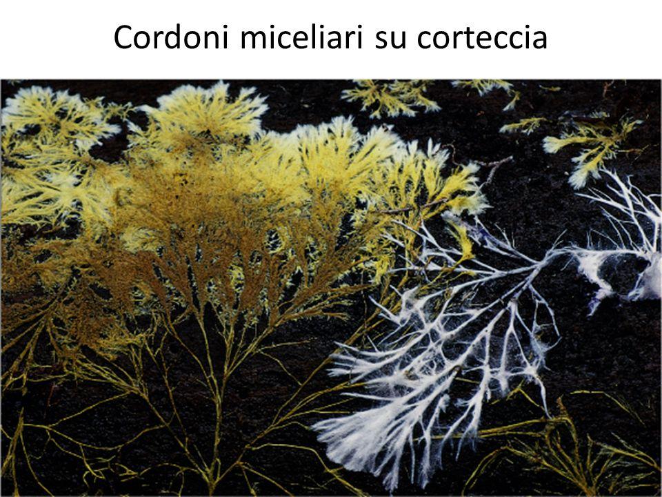 Cordoni miceliari su corteccia