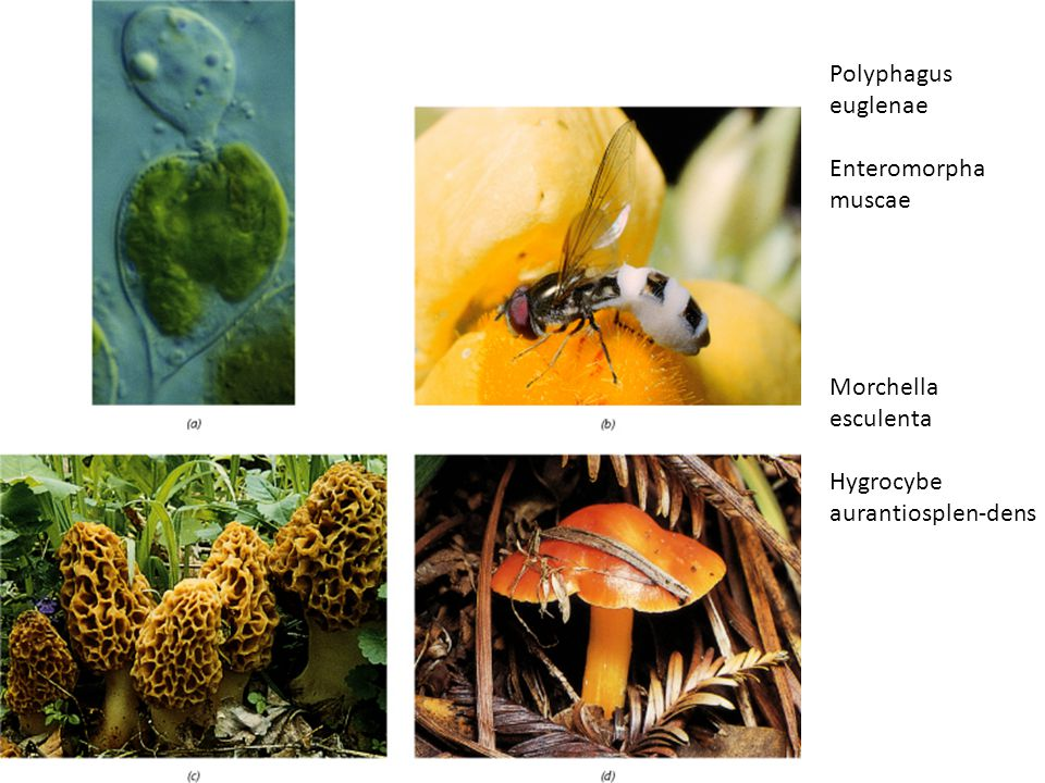 Polyphagus euglenae Enteromorpha muscae Morchella esculenta Hygrocybe aurantiosplen-dens