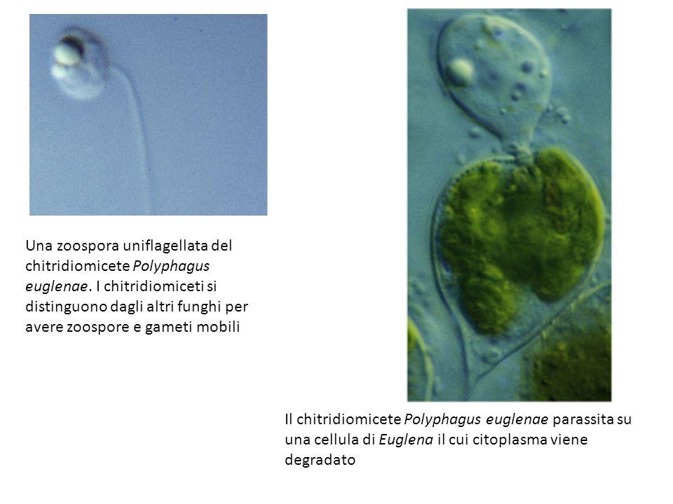 Una zoospora uniflagellata del chitridiomicete Polyphagus euglenae